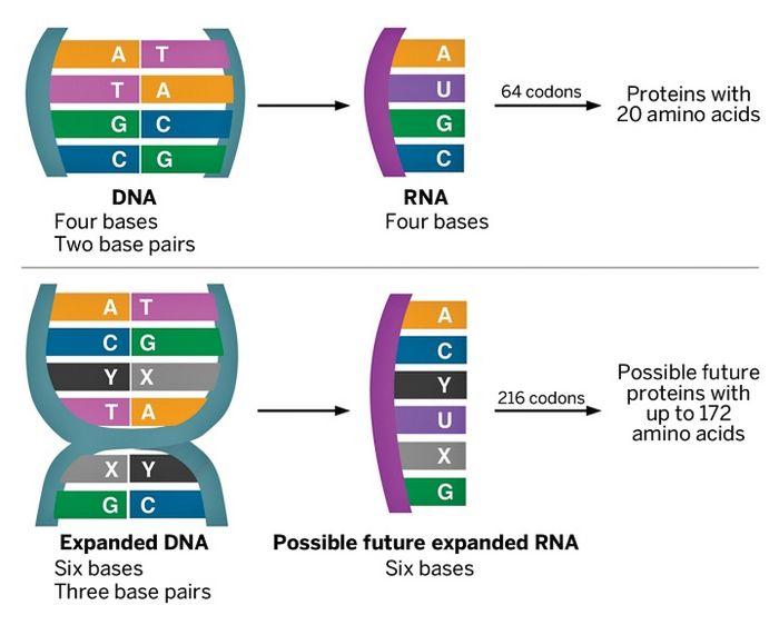 Новый генетический код и первая полусинтетическая бактерия